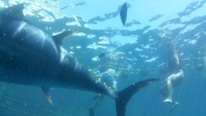 experiencia única de nadar y bañarse entre inmensos atunes rojos en alta mar ,